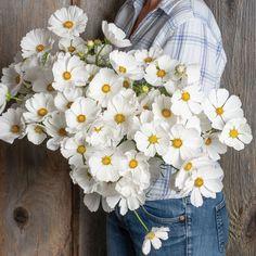 Cosmos Flowers, All Flowers, Beautiful Flowers, White Flowers, Cosmos Plant, Summer Flowers, Aster Flower, My Flower, Flower Power