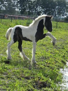 Little Vanner! ♥ #equine #horse http://globalhorsecents.com  **I wonder if he's thinking...if I pick my hoof up high enough I can make it across...or maybe he's just getting ready to make a big splash!