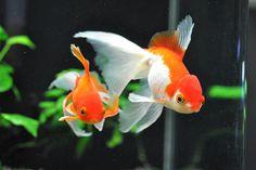 我が家の雑金魚・・・チオラ - ソウルで金魚