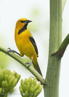 mis fotos de aves: Icterus nigrogularis Turpial Amarillo Yellow Oriol...
