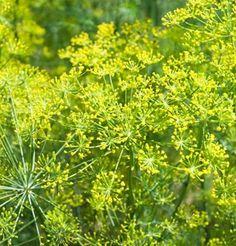 Herb Dill Bouquet D920A (Yellow) 200 Organic Seeds by David's Garden Seeds David's Garden Seeds http://www.amazon.com/dp/B00EMHW35C/ref=cm_sw_r_pi_dp_GNFQub19AXPHT