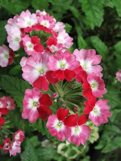 Just planted my first Verbena yesterday....beautiful