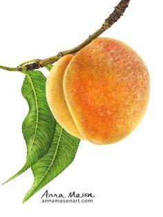 I hope your week's just Peachy xoxo Watercolor Fruit, Watercolor Artists, Watercolor Paintings, Watercolors, Anna Mason, Peach Fruit, Beginner Art, Still Life Drawing, Just Peachy