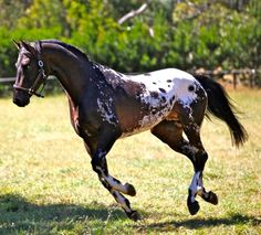 Appaloosa Stallion, Bay with spotted blanket                                                                                                                                                     More