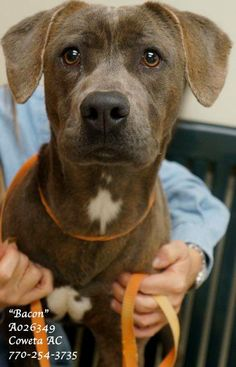 EXTREMELY URGENT! ~BACON -Lab Retr Ter Mix Male 2 Yrs  Size: Medium #A026349 Vaccinated  Heartworm Neg. CONTACT COWETA COUNTY ANIMAL CONTROL TO ADOPT: 91 Selt Road, Newnan, GA. (770)254-3735. We know that once you meet him, you will love this pup!  This fella is a loveable guy who wants to be part of a loving family but you must HURRY! Time is running out. Can you open your home to this sweetie? Intake:10/07/13 NOTE: CCAC CANNOT ADOPT ONLINE OR OVER THE PHONE. ADOPTIONS MUST BE DONE IN…