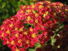 Achillea millefolium (Paprika Yarrow)