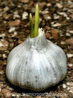How To Urban Garden Come learn how to grow your own garlic! - Want to learn how to grow garlic? Fall is the perfect time for planting and growing your own garlic is easy with these simple tips! Herb Garden, Lawn And Garden, Pot Jardin, Plantation, Edible Garden, Growing Vegetables, Growing Herbs, Dream Garden, Gardening Tips