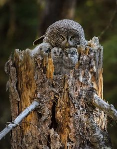 Very determined Owl.also well disguised! Beautiful Owl, Animals Beautiful, Cute Animals, Owl Bird, Pet Birds, Strix Nebulosa, Funny Owls, Great Grey Owl, Owl Photos