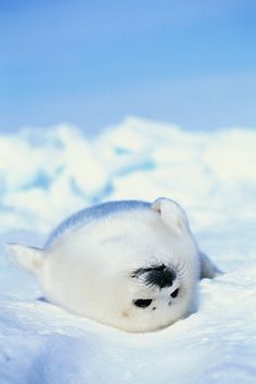 Baby Harp Seal … Photos of Truly Adorable Animals in Snow Baby Harp Seal … Photos of really adorable animals in the snow Harp Seal Pup, Baby Harp Seal, Baby Seal, Cute Baby Animals, Animals And Pets, Funny Animals, Fluffy Cows, Cute Seals, Cute Creatures