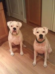 Jasmine & Brutus is an adoptable Boxer Dog in Methuen, MA. OWNER HAS BEEN DEPLOYED. PLEASE ADOPT THESE GREAT FAMILY DOGS Hi, Our names are Jasmine and Brutus. We are two white boxers about 3 years old...