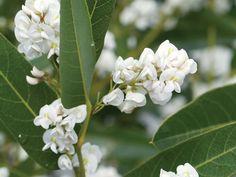 hardenbergia whiteout02