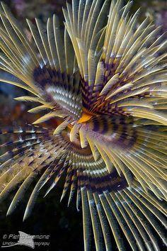 tubeworm ~ photo by Pietro.Cremone, via Flickr