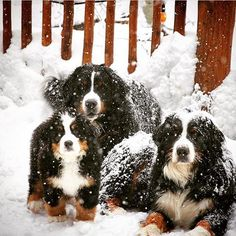 Sweetest snowy pups!❄️ @bernese_brothers_lafrom