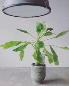 PLANTEN HOUDEN VAN MENSEN  ------------------------------------------- ... en ik hou van planten! Zojuist dit leuke exemplaar met potje gescoord bij @intratuin_nederland. Wat is dat toch altijd heerlijk struinen daar. Heel gevaarlijk voor mijn portemonnee die winkel   Het plantje is trouwens een Hawaïaanse palm.  #interior #interioraddict #interiordesign #interiorblogger #dutchlivingroom #urbanjungle #binnenkijken #vtwonen #palm #hawaïanpalm #binnenplanten #kamerplanten #interiorjunkie…