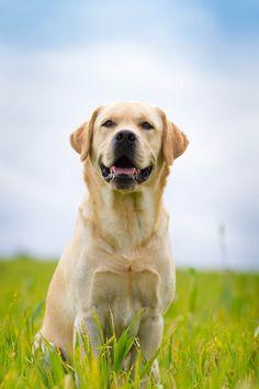 yellow labrador.