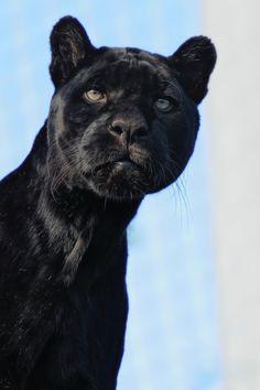 Black Jaguar by Josef Gelernter