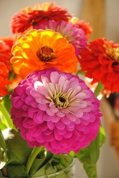 zinnias ... vibrant warm colors ... luv the naturatl ombre effect on the main flower ...