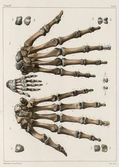Hand+bones+of+an+adult+and+an+infant.jpg (564×790)