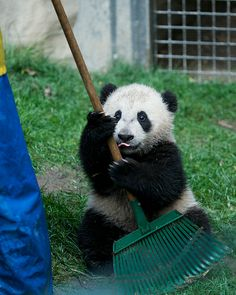 It was raining for Yun Zi's day on the job, but he put his best paw forward and did a very good job. Panda Day, Panda Love, Cute Panda, Red Panda, Panda Panda, Animals And Pets, Baby Animals, Cute Animals, Wild Animals