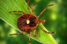 Lone Star Tick  Tick Bite Makes You Allergic To Meat/Holy Cow! (pun intended). Follow link to read the science behind this craziness.