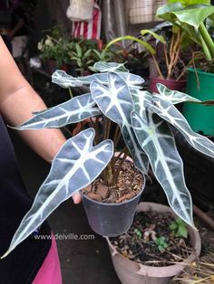 indoor plants can help reduce toxic pollutants: Best Indoor Plants, Outdoor Plants, Sick Building Syndrome, Ti Plant, Ficus Elastica, Raw Photo, Rubber Tree, Snake Plant, Air Purifier