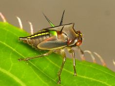 Treehopper nymph, Alchisme grossa