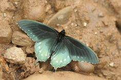 Pipevine swallowtail butterfly in the Great Smoky Mountains National Park, Tennessee.<br />