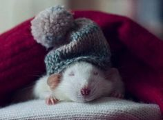 These cute rats cuddle with anything, from teddy bears to mittens.