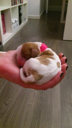 New born puppy Cavalier! Cavalier King Spaniel, Cavalier King Charles Dog, King Charles Spaniel, Cute Puppies, Cute Dogs, Cute Babies, Spaniel Puppies, Cute Friends, Puppys