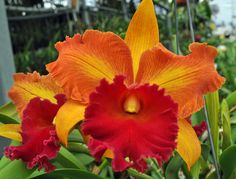 Blc. Burning Love 'Susan'