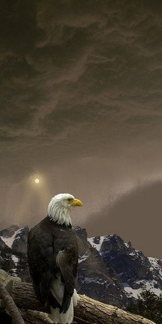 Bald Eagle standing watch over America