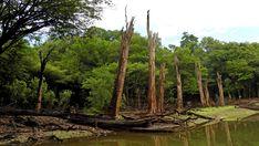 Relikte gigantischer Baumriesen in verborgenen, kleinen Kanälen Amazoniens.