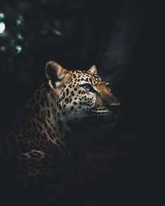 Indochinese Leopard by Alexis Rateau Jaguar Wallpaper, Leopard Wallpaper, Tier Wallpaper, Animal Wallpaper, Seagrass Wallpaper, Paintable Wallpaper, Emoji Wallpaper, Colorful Wallpaper, Fabric Wallpaper