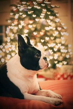 I love my Boston terrier! And look at the wonderful lights in the backround that look like hearts!!!!!!