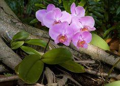 Phalaenopsis purple cultivar