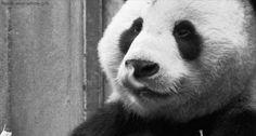 panda animated gif on Giphy
