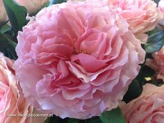 Rose Mayra. Go visit us online and order David Austin Roses and other Fragrant garden roses at www.parfumflowercompany.com