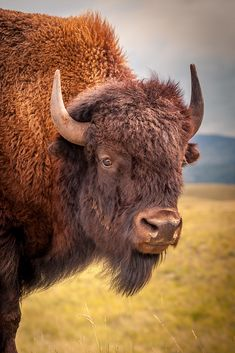 American Bison (Canada)Source