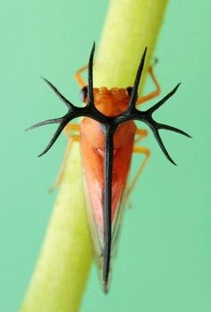 insect ima Adult -