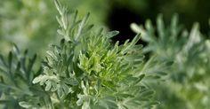 Artemisia: ricca di principi attivi aromatici, regola il ciclo e aiuta la digestione