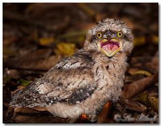 It's important that you get to know these adorably expressive birds. Not to be confused with owls, the frogmouth is a nocturnal bird native to Southeast Asia and Australia.