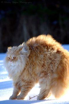 fluffers!! (Nikolay Shopov, photogenic felines)
