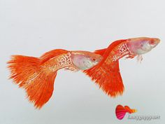 Penang Guppy for Sale. Guppy fish for retailer, wholesale, reasonable price & good quality. Grade A Guppy are reserve for private buyer, Hobbyist. Betta Aquarium, Tropical Aquarium, Tropical Fish, Tropical Freshwater Fish, Freshwater Aquarium Fish, Guppy, Exotic Fish, Underwater World, Fish Tank