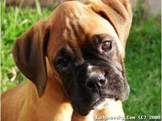cute boxers dogs - Google Search