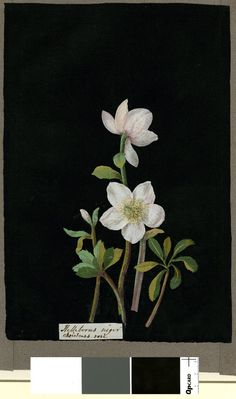 Helleborus Niger (Polyandria Polygynia), formerly in an album (Vol.V, 12); Christmas Rose Collage of coloured papers, with bodycolour and watercolour, on black ink background