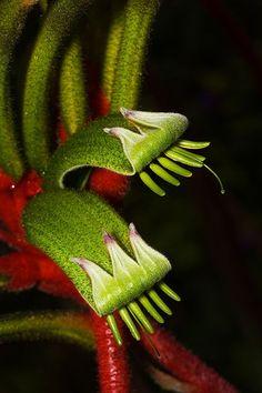 Kangaroo-Paw [Anigozanthos manglesii] - The State emblem flower of Western Australia, in Kings Park, Perth, Australia - Flickr - Photo Sharing!