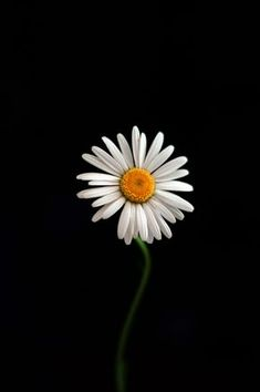 Secluded Camomile by Michael V Daisy Wallpaper, Black Background Wallpaper, Abstract Iphone Wallpaper, Sunflower Wallpaper, Flower Phone Wallpaper, Cute Wallpaper Backgrounds, Flower Backgrounds, Galaxy Wallpaper, Nature Wallpaper