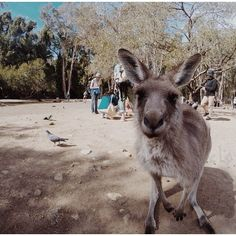 Welcome to Currumbin Wildlife Sanctuary! We love Kangaroos! This is Gold Coast, Australia with @faltamimi