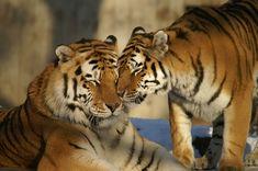 Free Image on Pixabay - Animals, Tiger, Big Cat, Zoo Pet Tiger, Bengal Tiger, Pumas, Caspian Tiger, Choses Cool, Tiger World, Photo Animaliere, Tiger Love, Elephant Parade