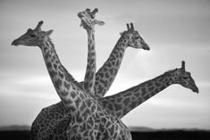 Beautiful black and white portraits of African wildlife by David Gulden